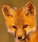 AravanFox