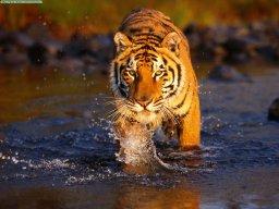 tiger0075