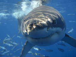 Sharkie77